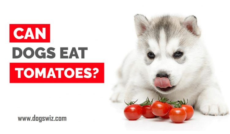 Can dogs eat tomatoes? Are they safe?