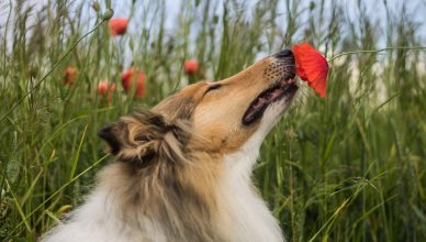 How strong is a dog's sense of smell?